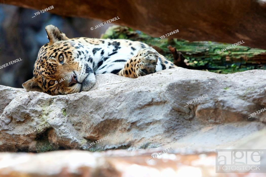 Stock Photo: Leopard resting on a rock.