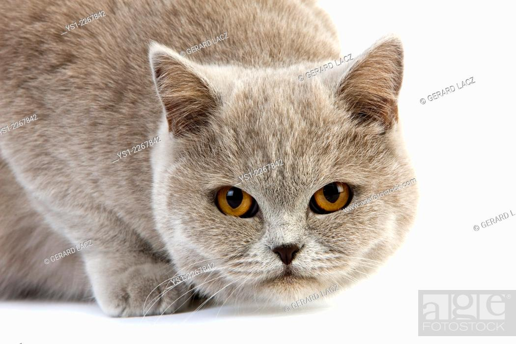 Stock Photo: Lilac Cream British Shorthair Domestic Cat, Female standing against White Background.