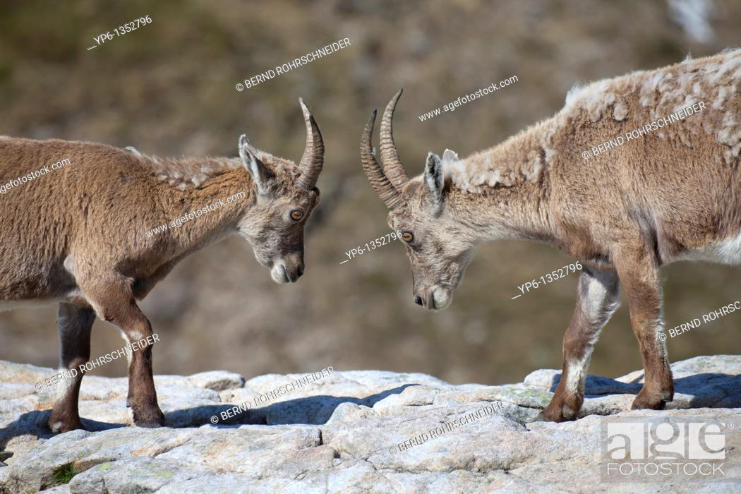Stock Photo: 2 fighting Alpine Ibexes Capra ibex standing on rock, Niederhorn, Bernese Oberland, Switzerland.