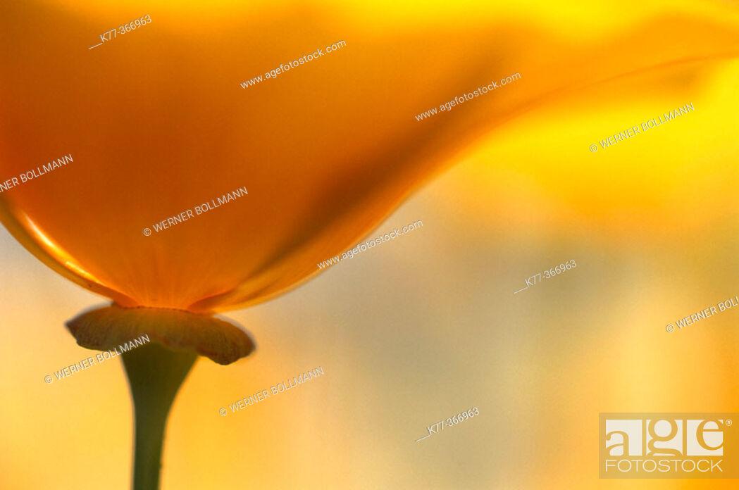 Stock Photo: Golden poppy (Eschscholzia californica). San Diego. California. USA.