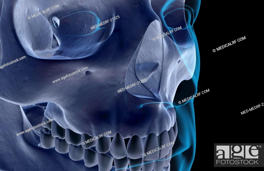 Stock Photo: The bones of the face.