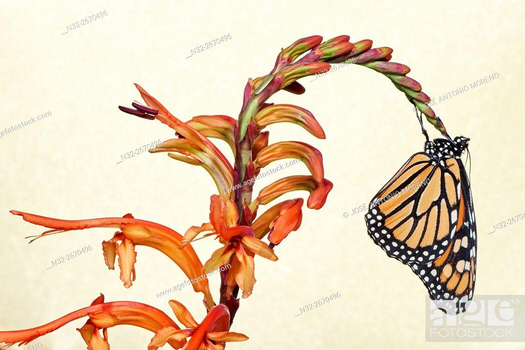 Stock Photo: Monarch butterfly (Danaus plexippus), Benalmadena, Malaga province, Andalusia, Spain.