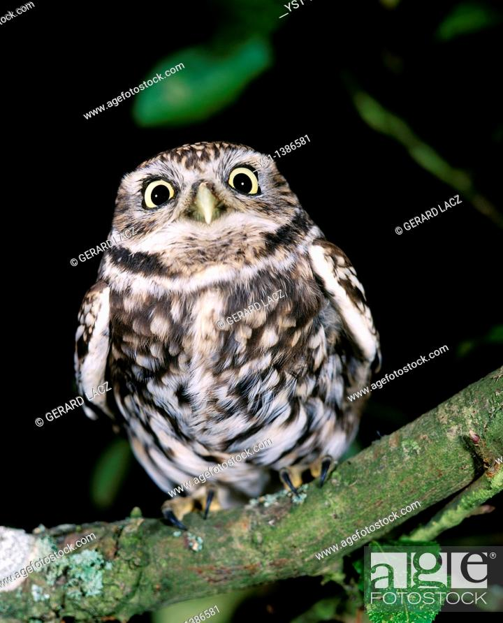 Stock Photo: Little Owl, athene noctua, Adult standing on Branch.