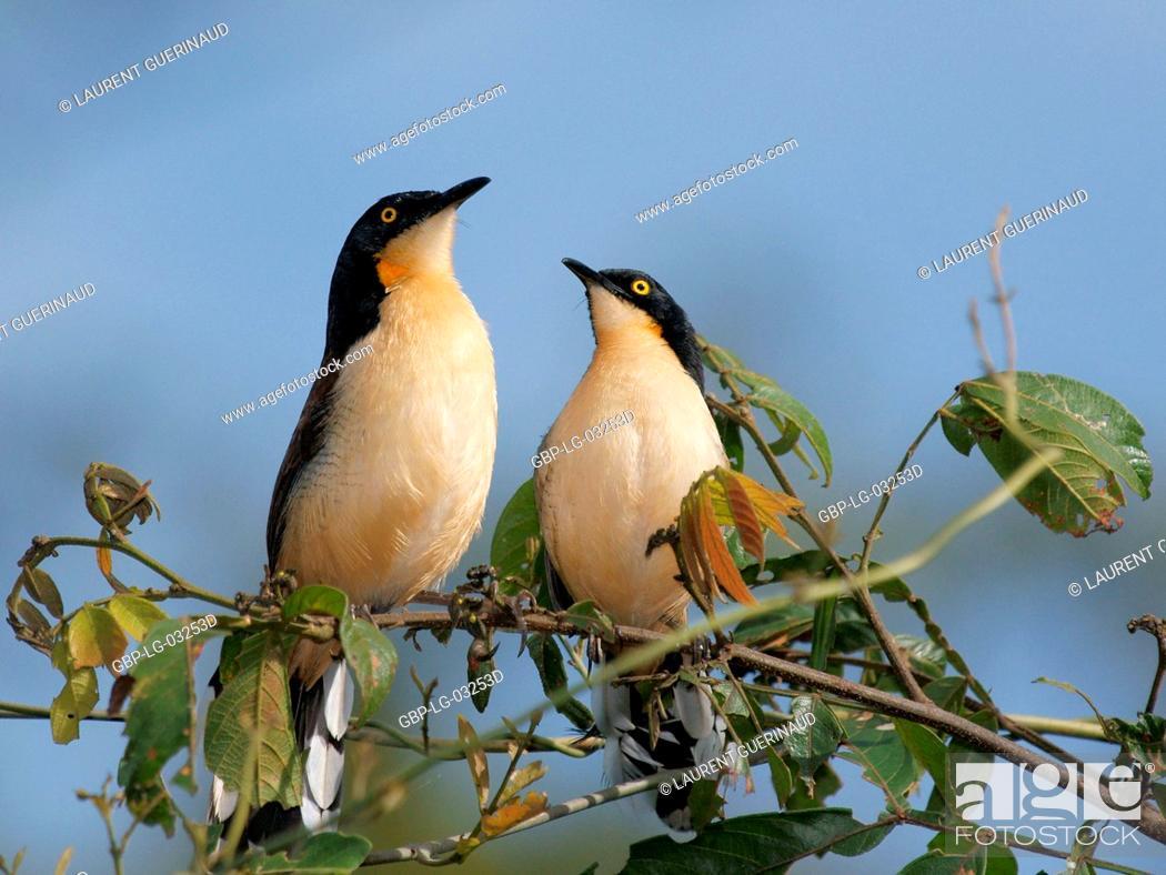 Stock Photo: Ave, Thrush-pity-swamp, Pantanal, Mato Grosso do Sul, Brazil.