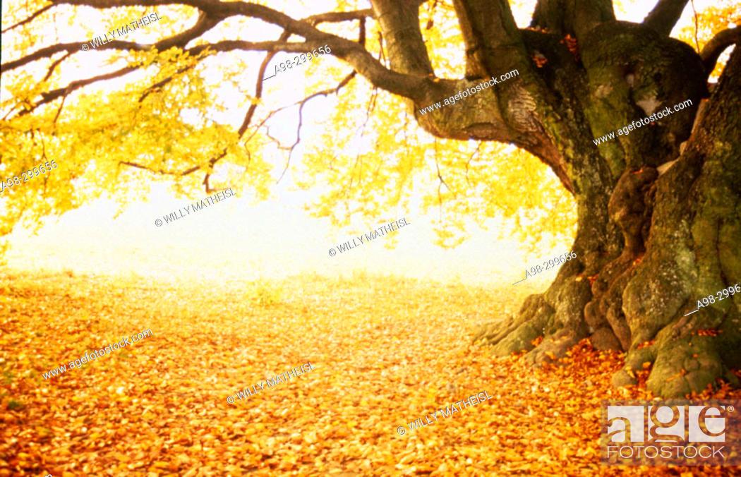 Stock Photo: Beech tree, fall colours. Bavaria. Germany.