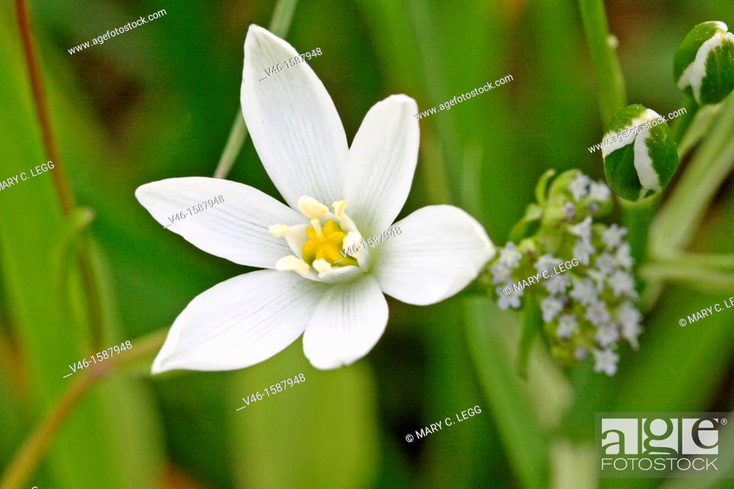 Stock Photo: Pyrenes Star of Bethlehem, Ornithogalum umbellatum, Caryophyllaceae  Sleepydick  Small white wild flower  Toxic plant  Listed in US agriculture as noxious weed.