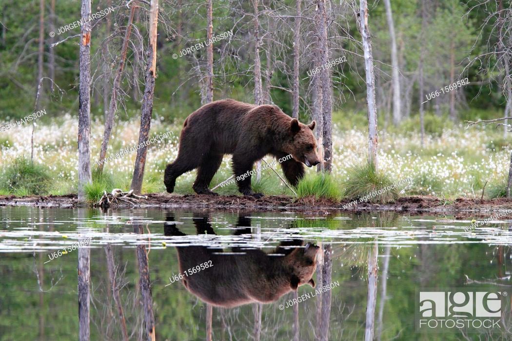 Stock Photo: Brown Bear (Ursus arctos), Kuhmo Finland Sweden.
