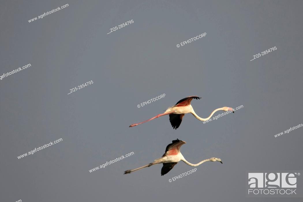 Stock Photo: Pair of Greater Flamingo, Phoenicopterus roseus, Ujjani Dam backwaters, Bhigwan, Maharashtra, India.