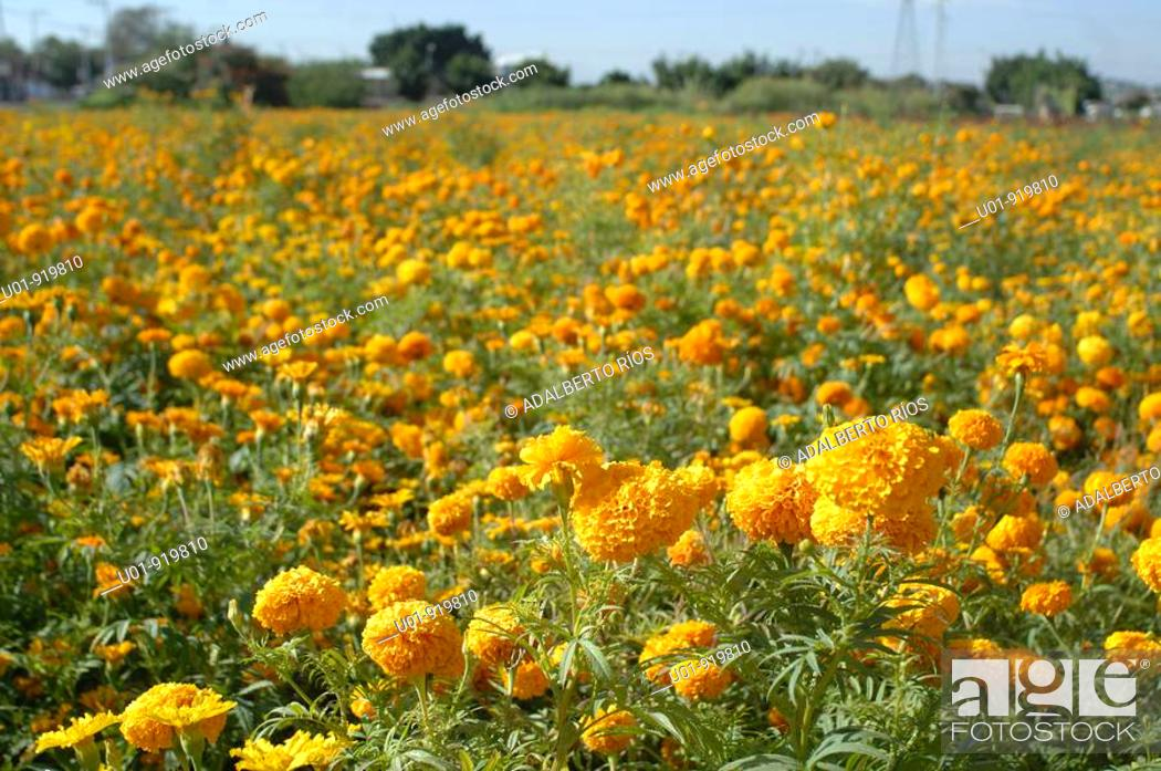 Stock Photo: Cempoalxochitl marigolds, used in 'Day of the Dead' offerings. Morelos. Mexico.