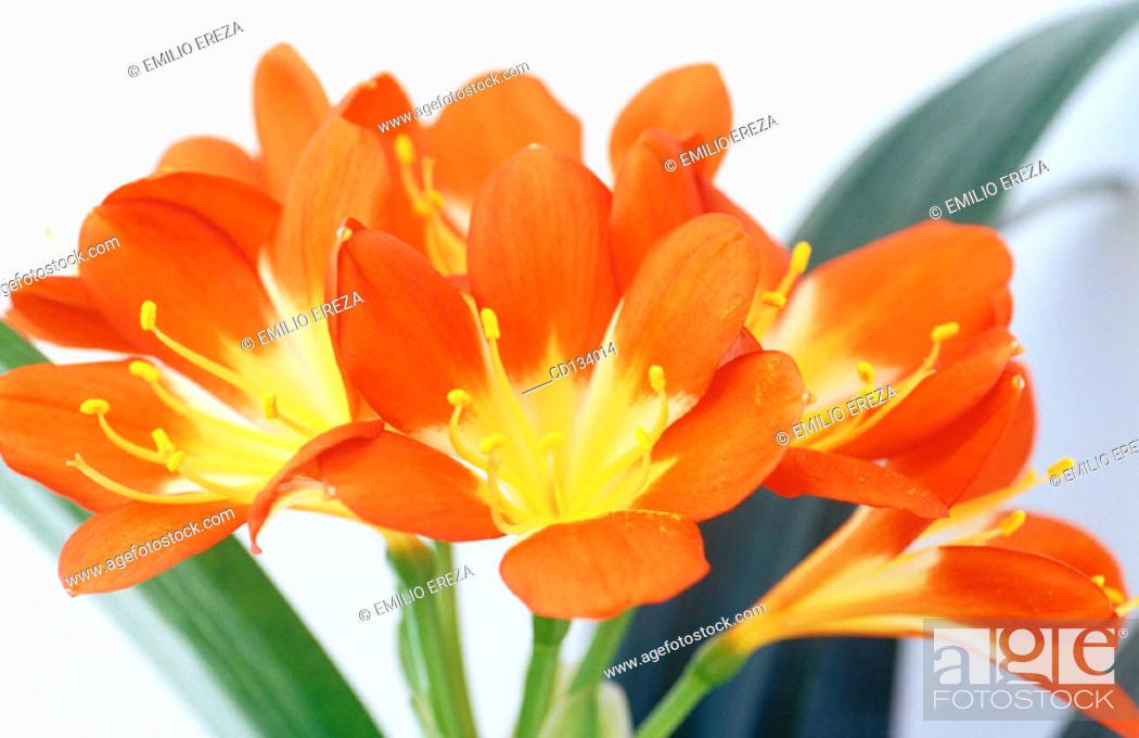 Stock Photo: Kaffir Lily, Clivia miniata.