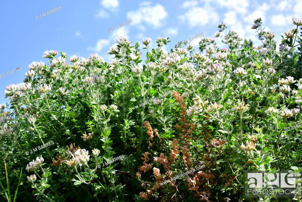 Stock Photo: Hairy Canary-clover (Dorycnium hirsutum or Lotus hirsutus) is a subshrub native to Mediterranean Basin, Canary Islands and northern Africa.