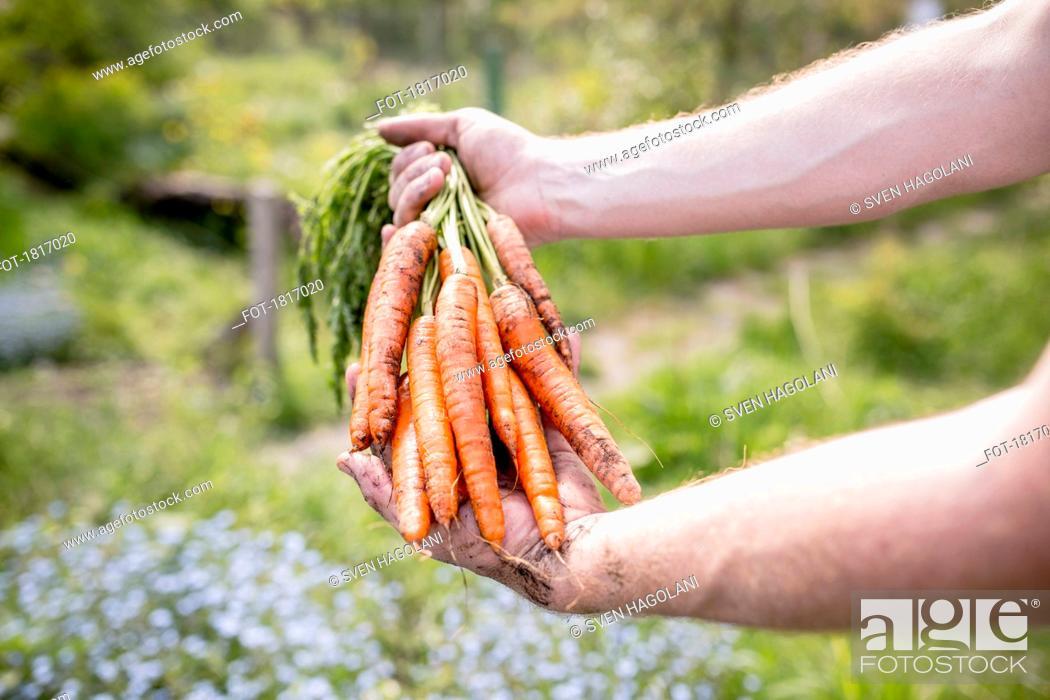 Stock Photo: Man harvesting carrots in vegetable garden.