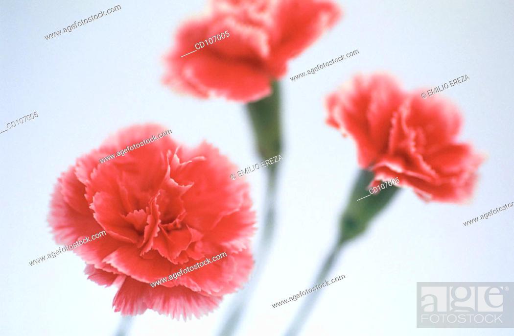 Stock Photo: Pink Carnations (Dianthus hybr.).