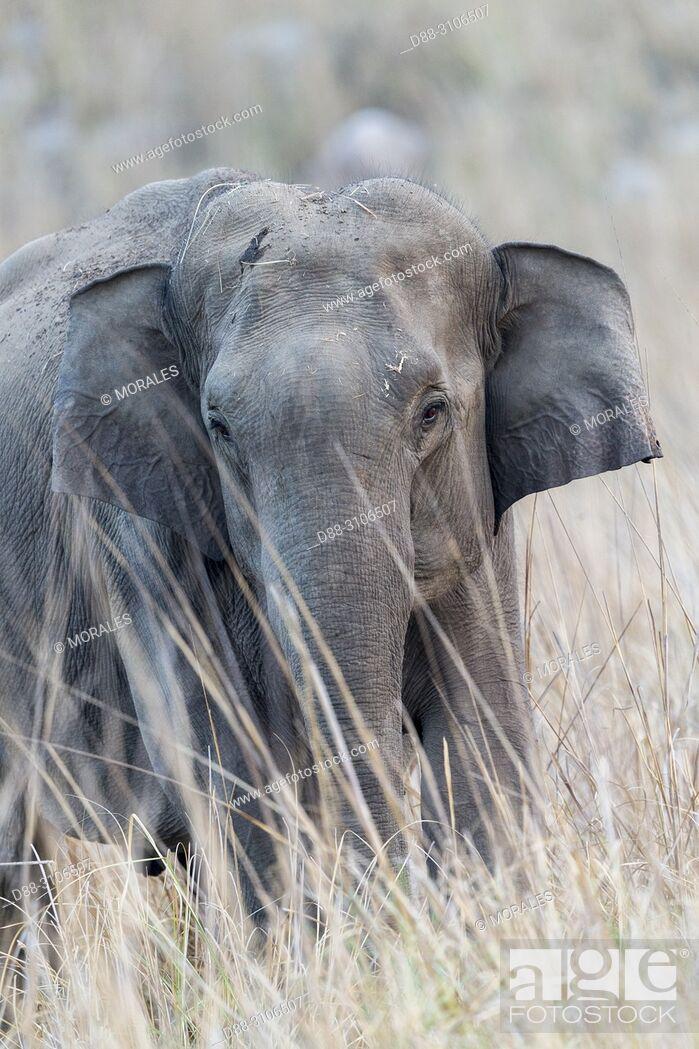 Stock Photo: Asia, India, Uttarakhand, Jim Corbett National Park, Asian or Asiatic elephant (Elephas maximus), one animal in the grassland.