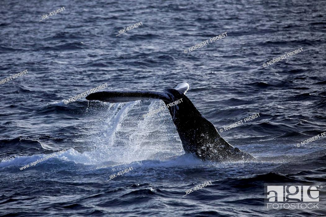 Stock Photo: Humpback whale (Megaptera novaeangliae) species-typical behavior, hitting tail on water surface, tail slapping, Silver Bank, Silver and Navidad Bank Sanctuary.