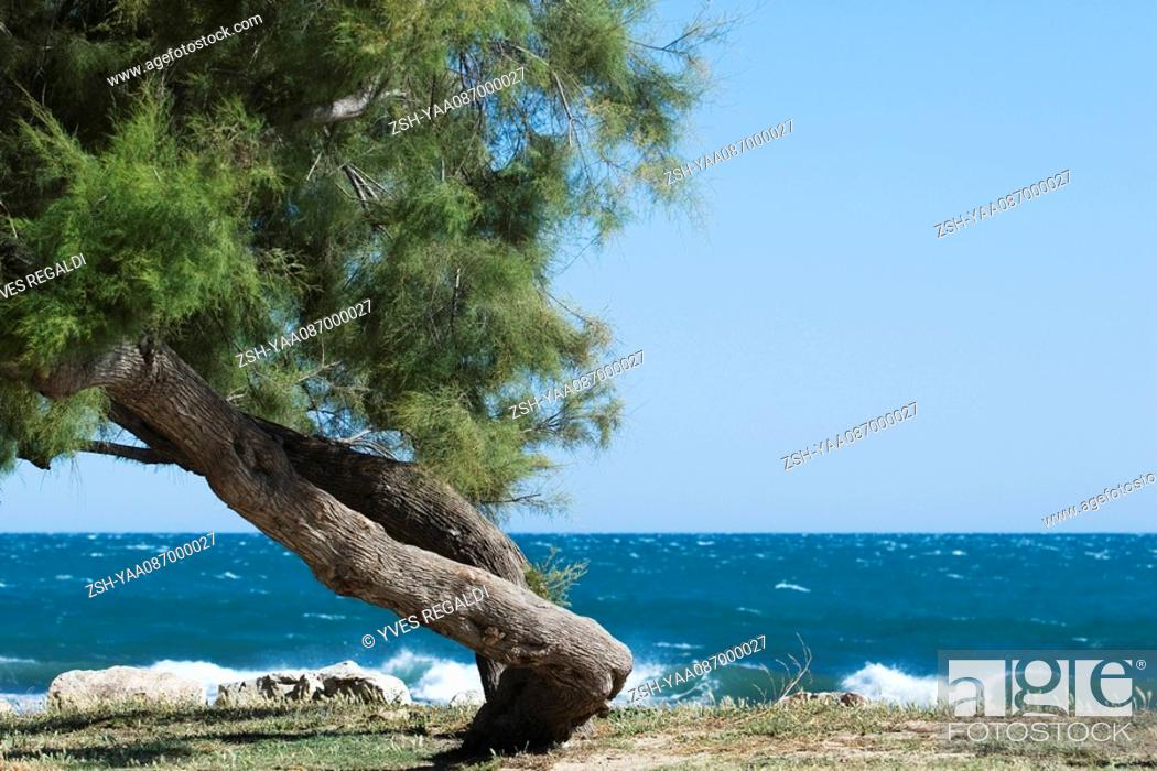 Stock Photo: Twisted white pine tree growing on sea shore.