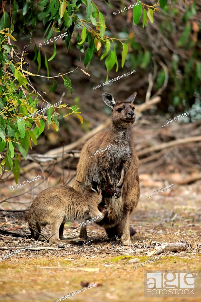 Stock Photo: Kangaroo Island Kangaroo, (Macropus fuliginosus fuliginosus), adult with young suckling, mother with young looking in pouch, Kangaroo Island, South Australia.