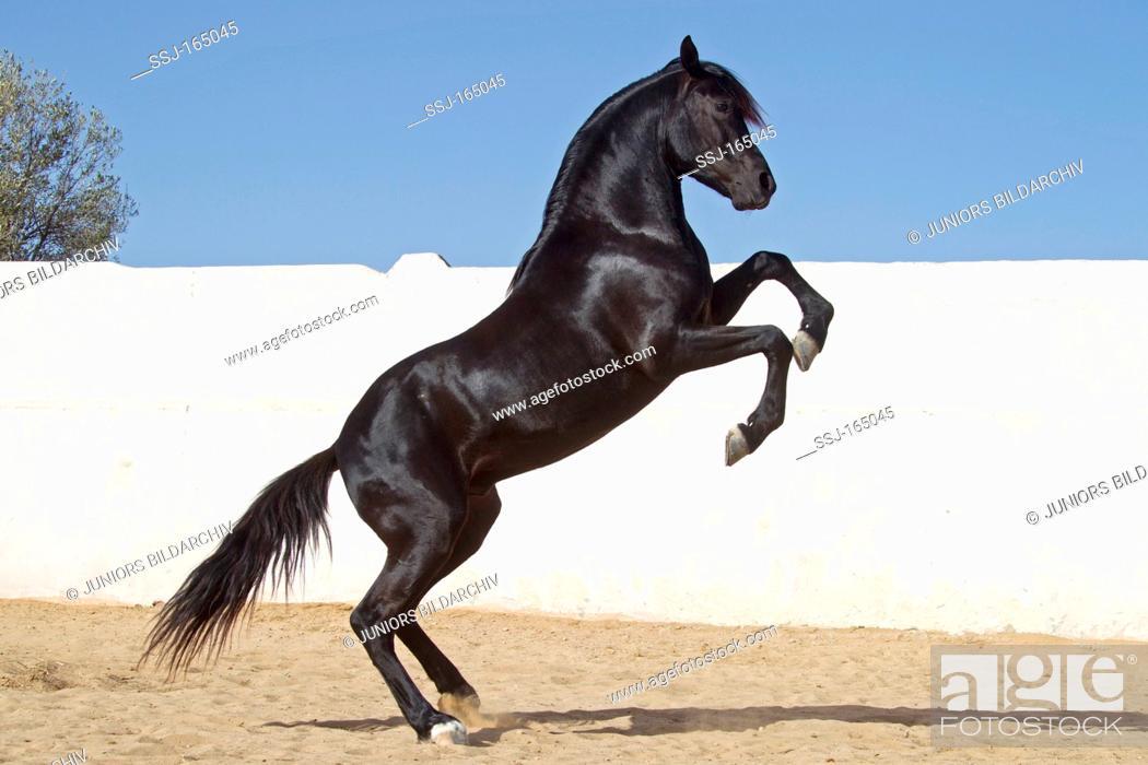 Arabian Horse Rearing Foto De Stock Imagen Derechos Protegidos Pic Ssj 165045 Agefotostock