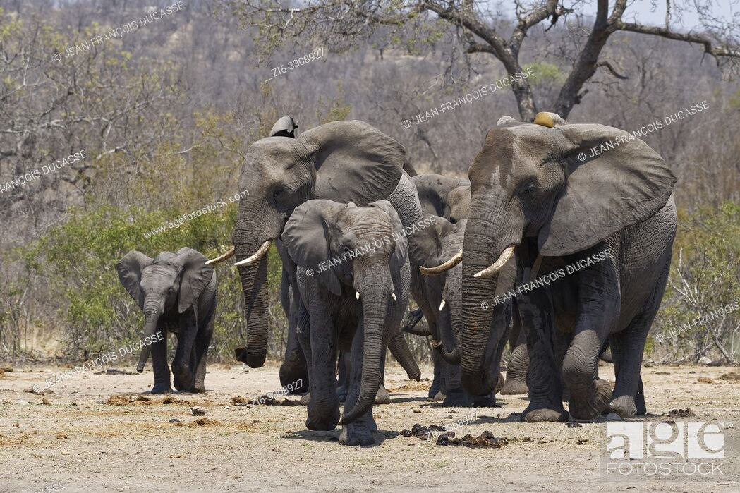 Stock Photo: African bush elephants (Loxodonta africana), herd with young, on the way to the waterhole, Kruger National Park, South Africa, Africa.
