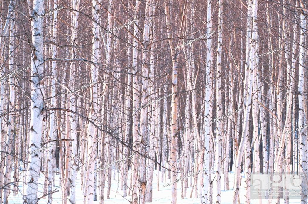 Stock Photo: Birch Tree Forest In Winter.
