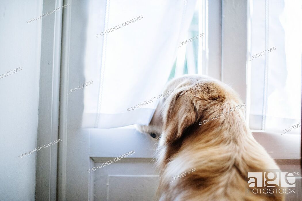 Stock Photo: Dog looks out the window.