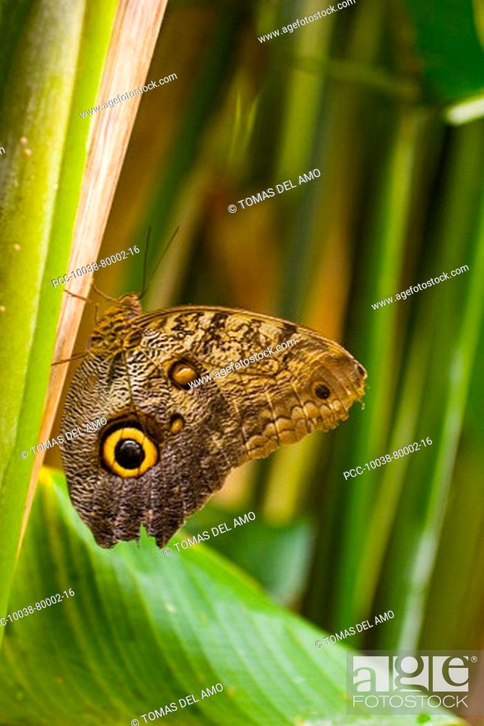 Stock Photo: A beautiful brown butterfly rests amongst green leaves.