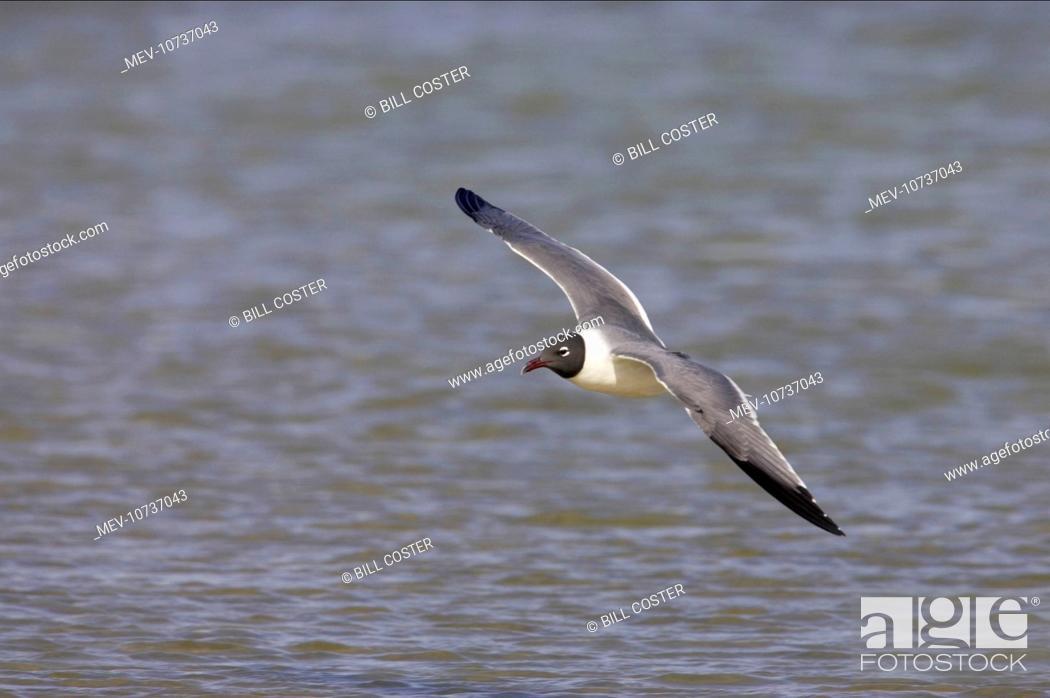 Stock Photo: Laughing Gull - in flight (Larus atricilla).