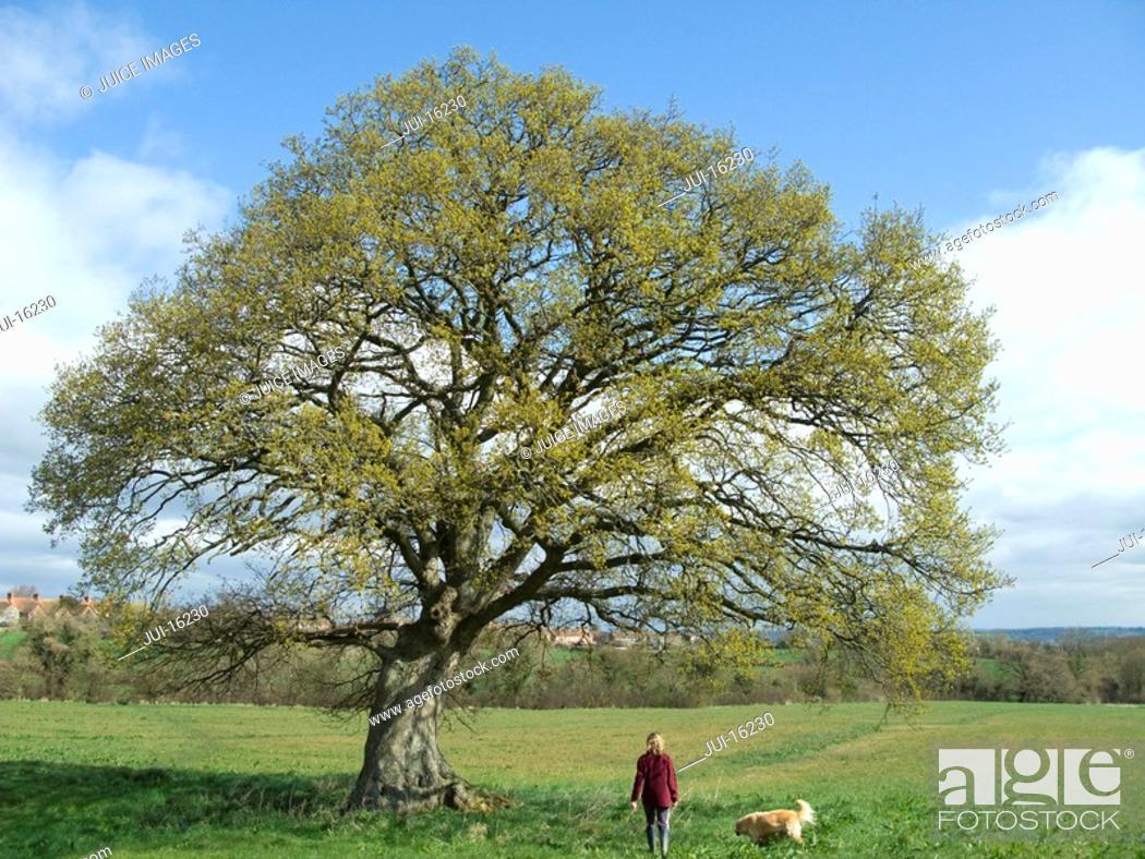 Stock Photo: Woman walking dog in field.