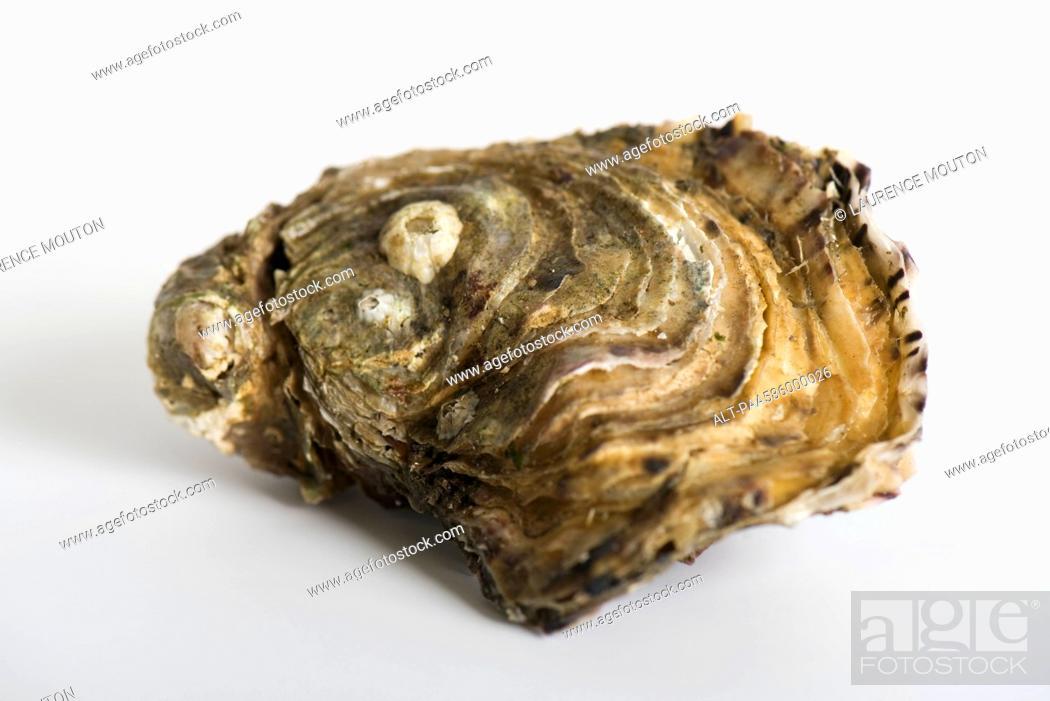 Stock Photo: Fresh raw oyster.