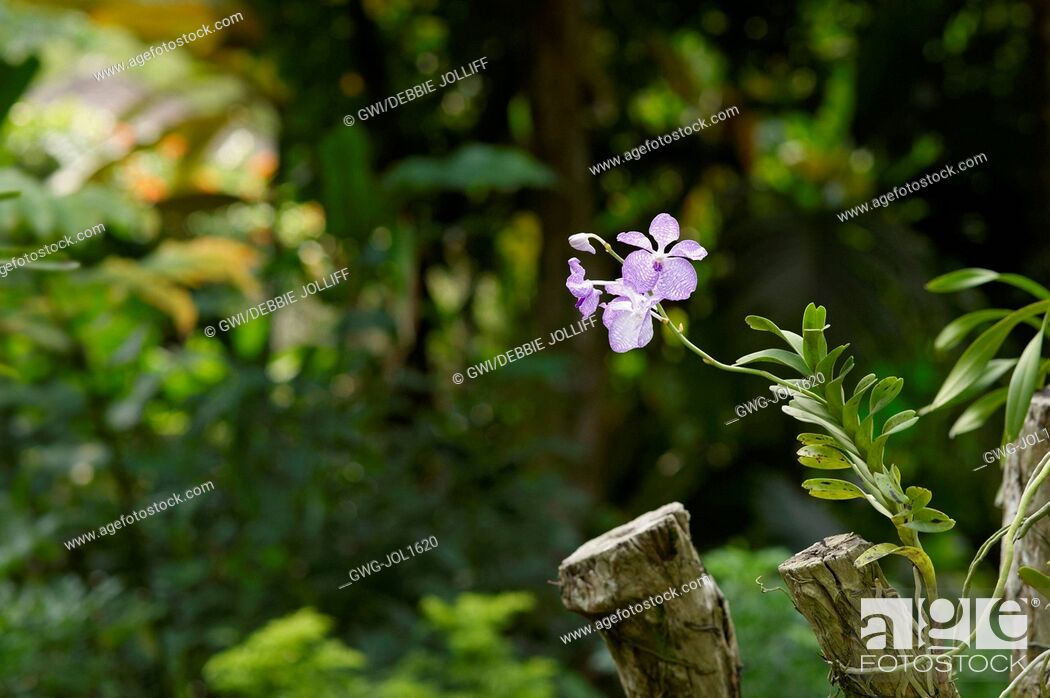 Stock Photo: PALE PINK VANDA ORCHID GROWING ON A LOG.