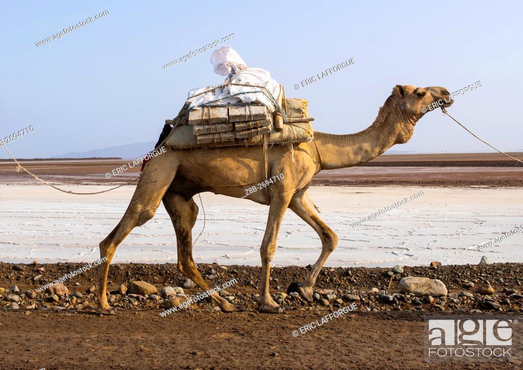 Stock Photo: Ethiopia, Afar Region, Dallol, camel caravans carrying salt through the danakil depression.