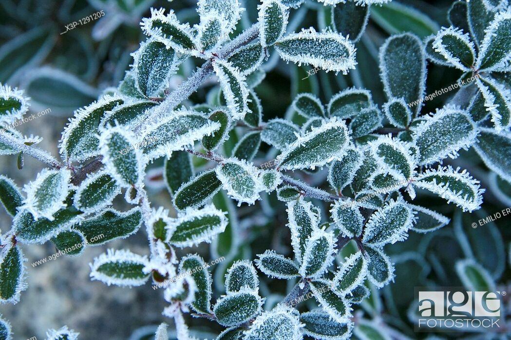Stock Photo: Frozen plant  Piracantha sp.
