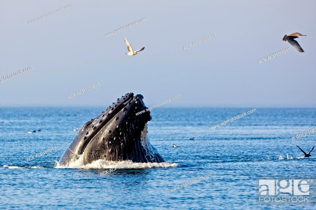 Stock Photo: Humpback whale feeding in Queen Charlotte Strait, British Columbia, Canada.