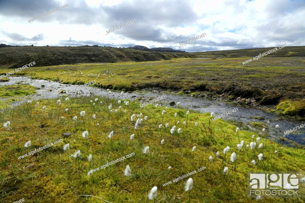 Imagen: Iceland, cotton grass meadow at the brook, in the background old lava field.