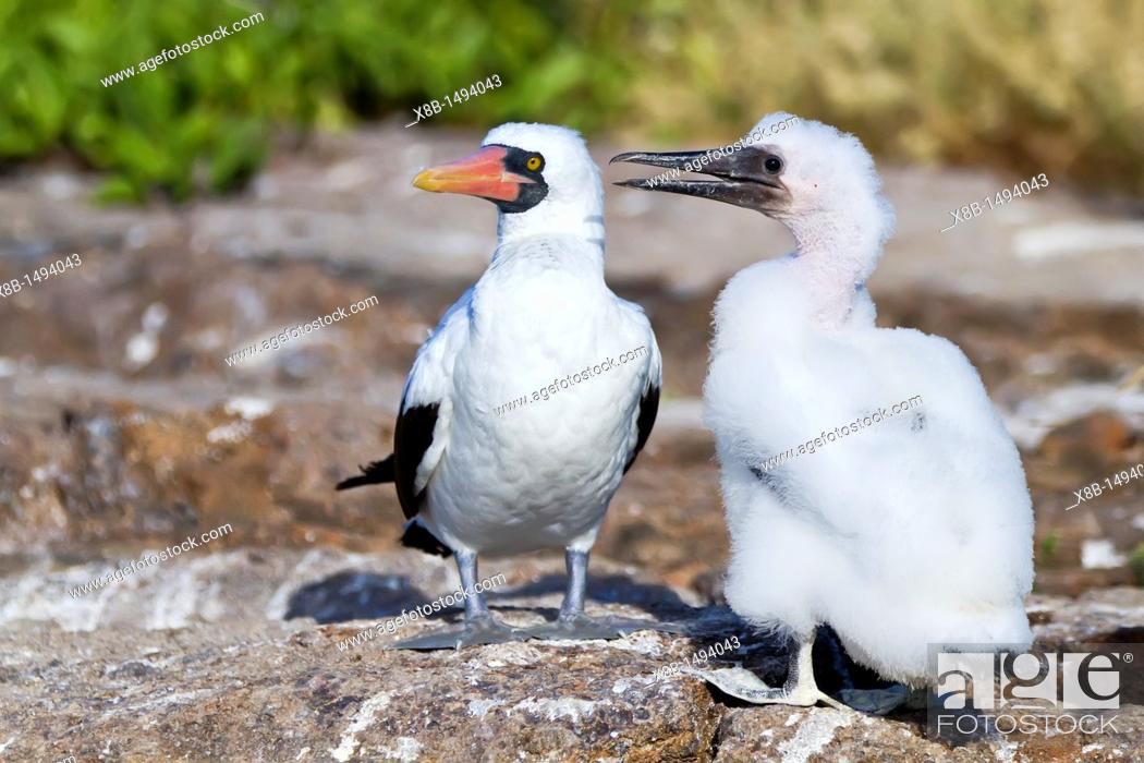 Stock Photo: Adult Nazca booby Sula grantii with downy chick in the Galapagos Island Archipelago, Ecuador  MORE INFO Nazca boobies are known for practicing obligate.