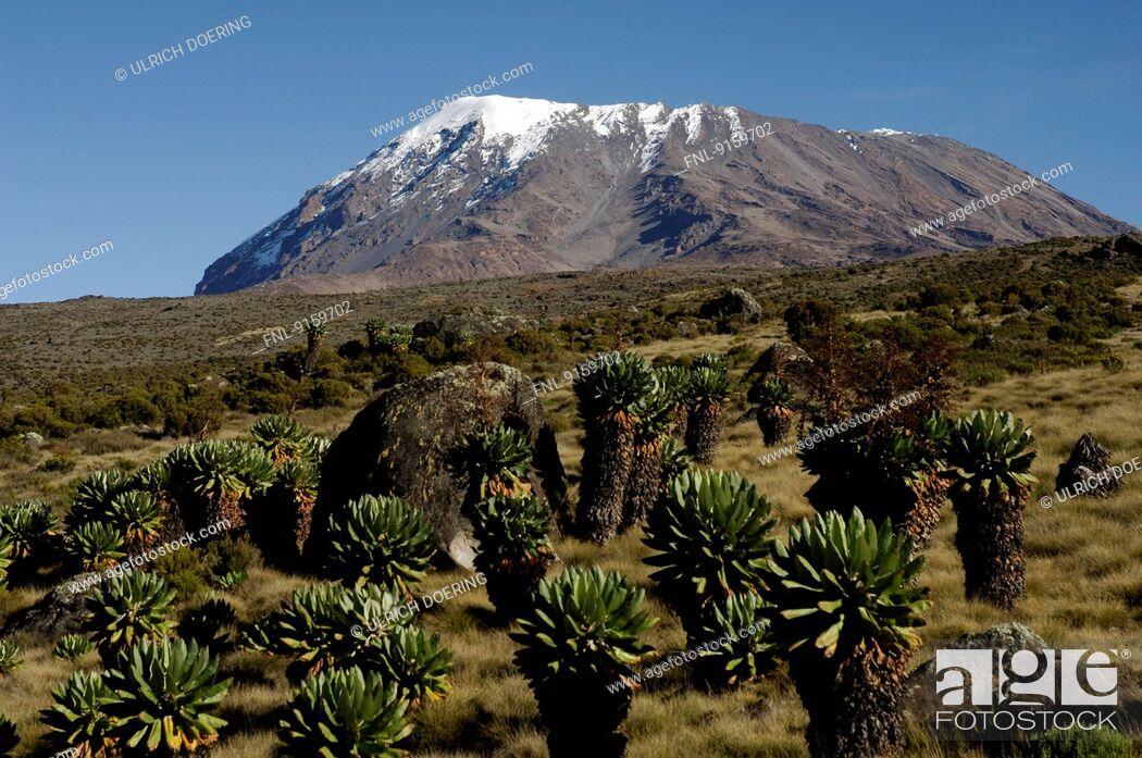 Stock Photo: Snow-covered cone of Kilimanjaro and Giant groundsel, Tanzania.