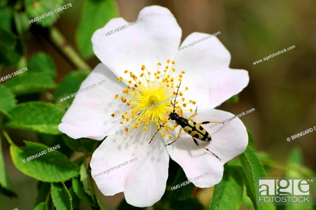 Stock Photo: France, Haut Rhin, Rouffach, limestone hill, Leptura maculata adult on wild rose (Rosa sp).
