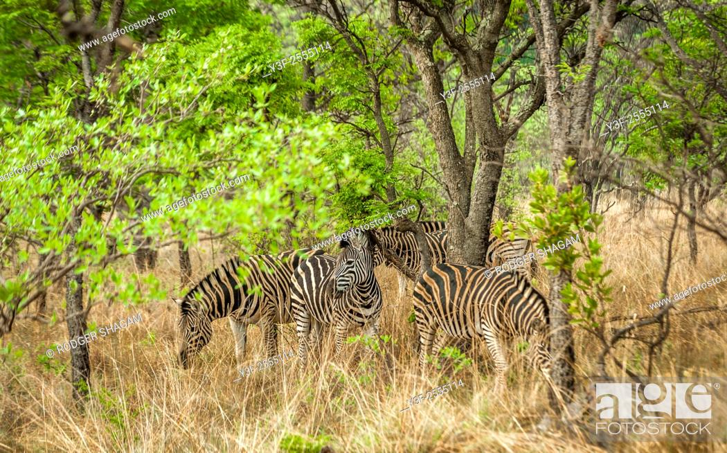 Stock Photo: The plains zebra (Equus quagga), also known as the common zebra or Burchell's zebra, is the most common and geographically widespread species of zebra.