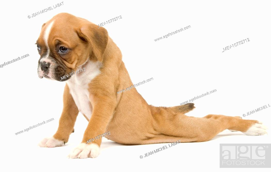 Dog - Boxer puppy - in studio sitting with back legs splayed out