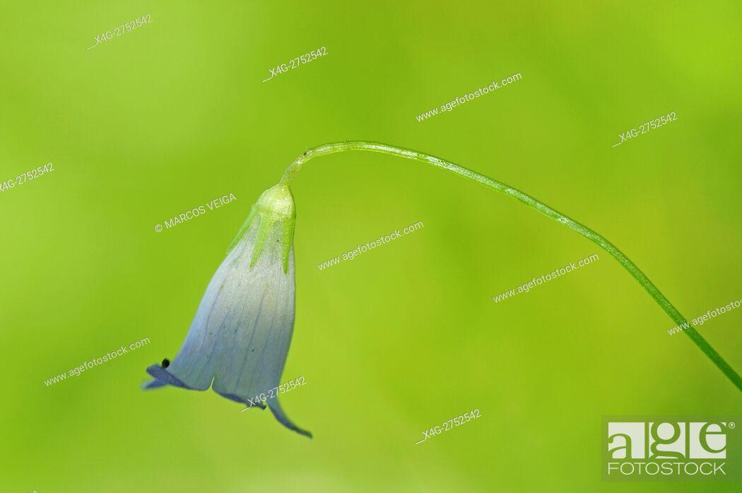 Stock Photo: Ivy-leaved Bellflower (Wahlenbergia hederacea).