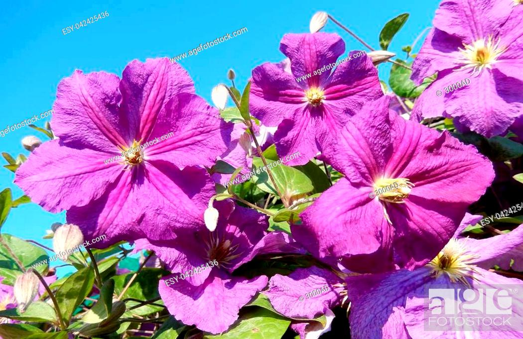 Stock Photo: Floral background with a Clematis vine in bloom, with ultra violet flowers, the color of the year in 2018.