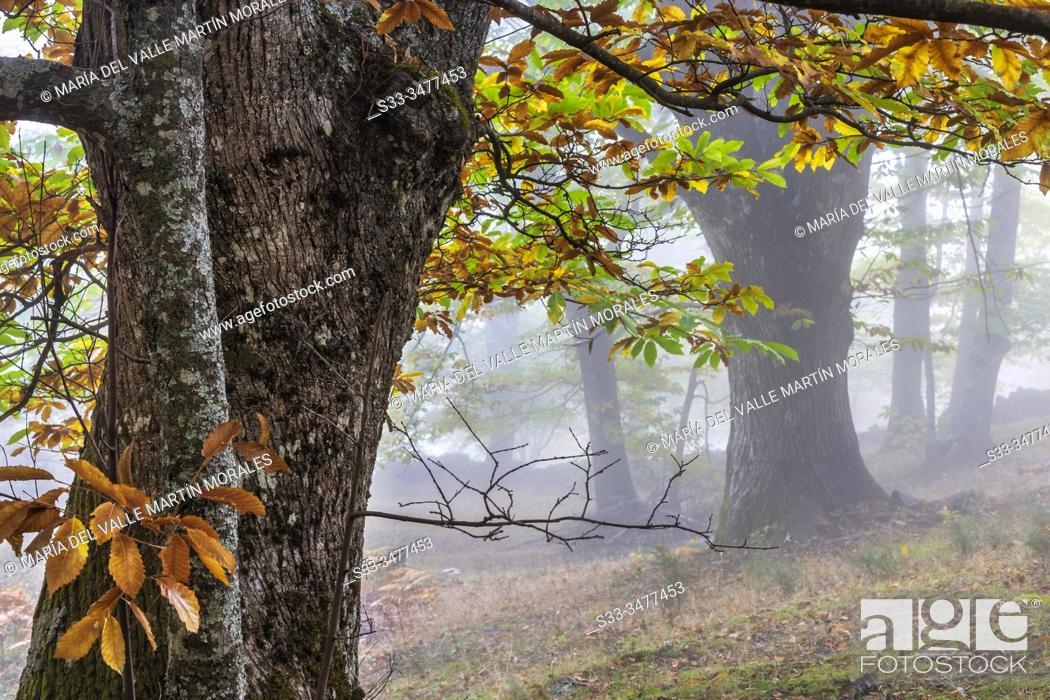 Stock Photo: Fog at Linar chestnut in Sierra de Gredos. Casillas. Avila. Spain. Europe.