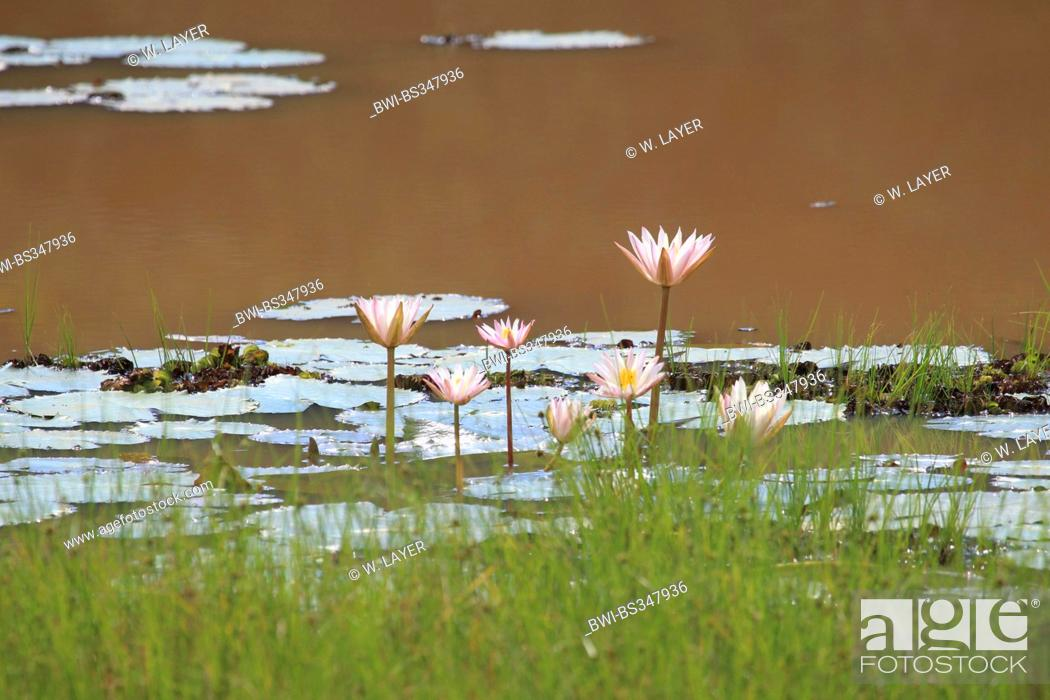 Stock Photo: water lily, pond lily (Nymphaea spec.), pond with water lilies, Sri Lanka, Yala National Park.