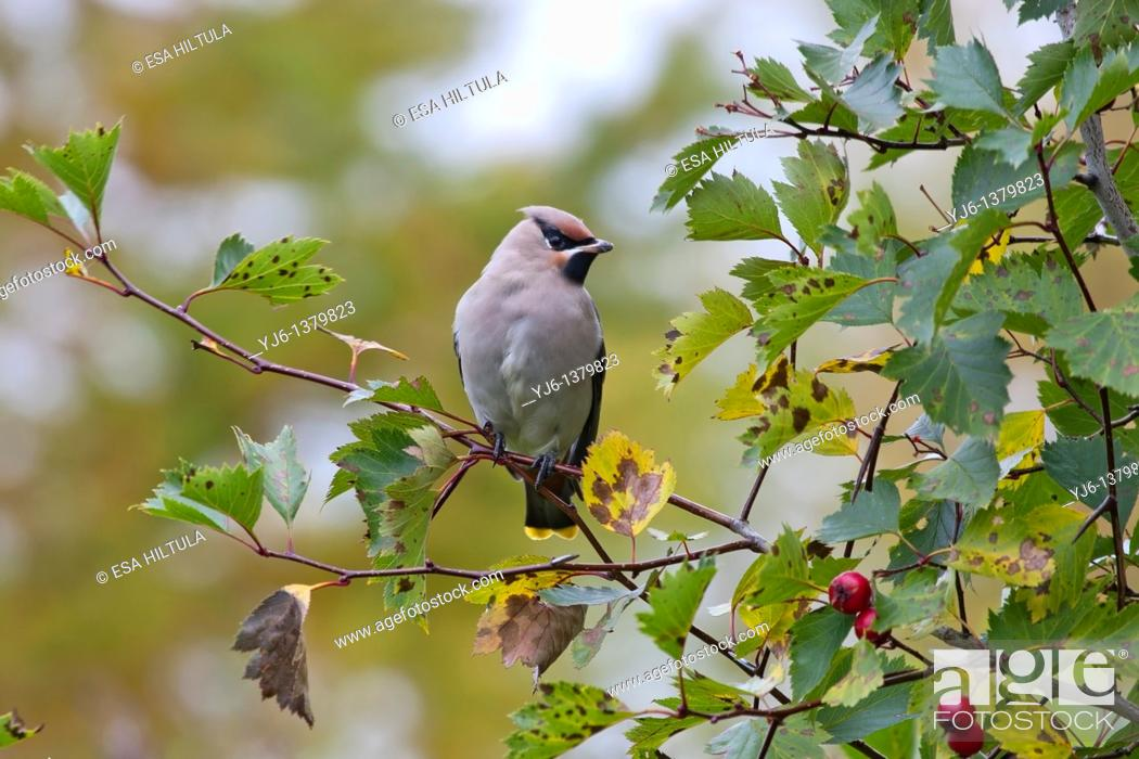 Stock Photo: Bohemian waxwing Bombycilla garrulus.
