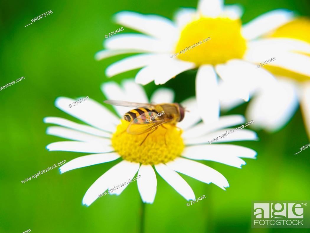 Stock Photo: Bee feeding on daisy.
