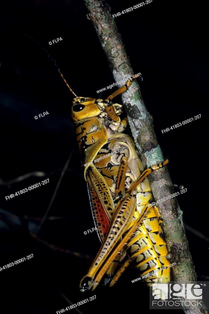 Stock Photo: Southeastern Lubber Grasshopper Romalea microptera Florida, U S A.