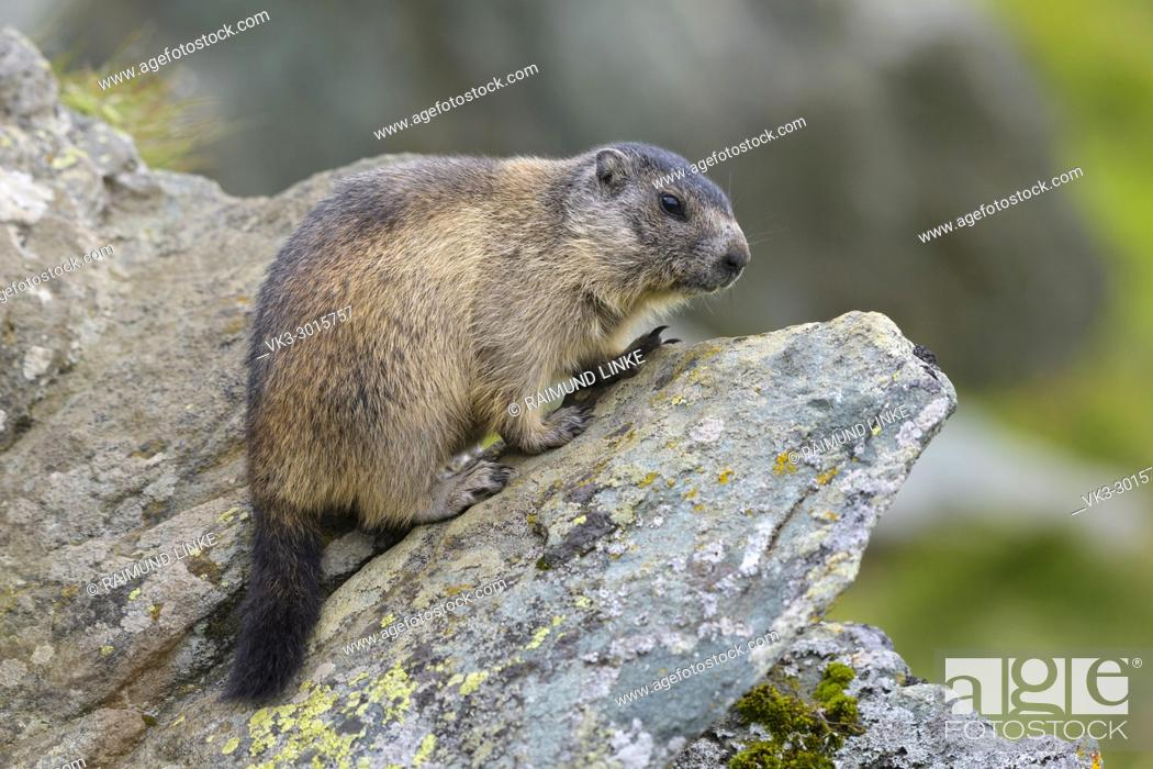 Stock Photo: Alpine Marmot, Marmota marmota, young, Hohe Tauern National park, Austria.