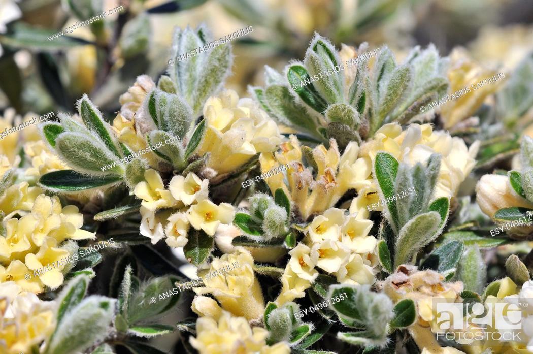 Stock Photo: Thymelaea tartonraira ssp. argentea, Crete.