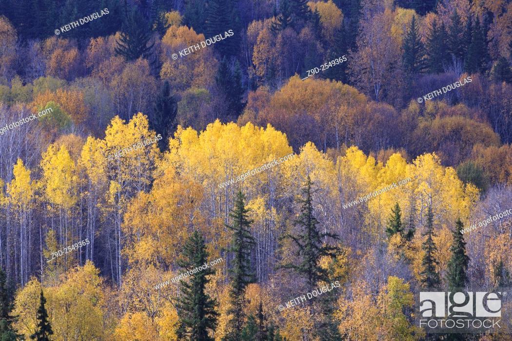 Stock Photo: Fall colours of yellow Aspen leaves above the Bulkley river, near Hzelton, British Columbia.
