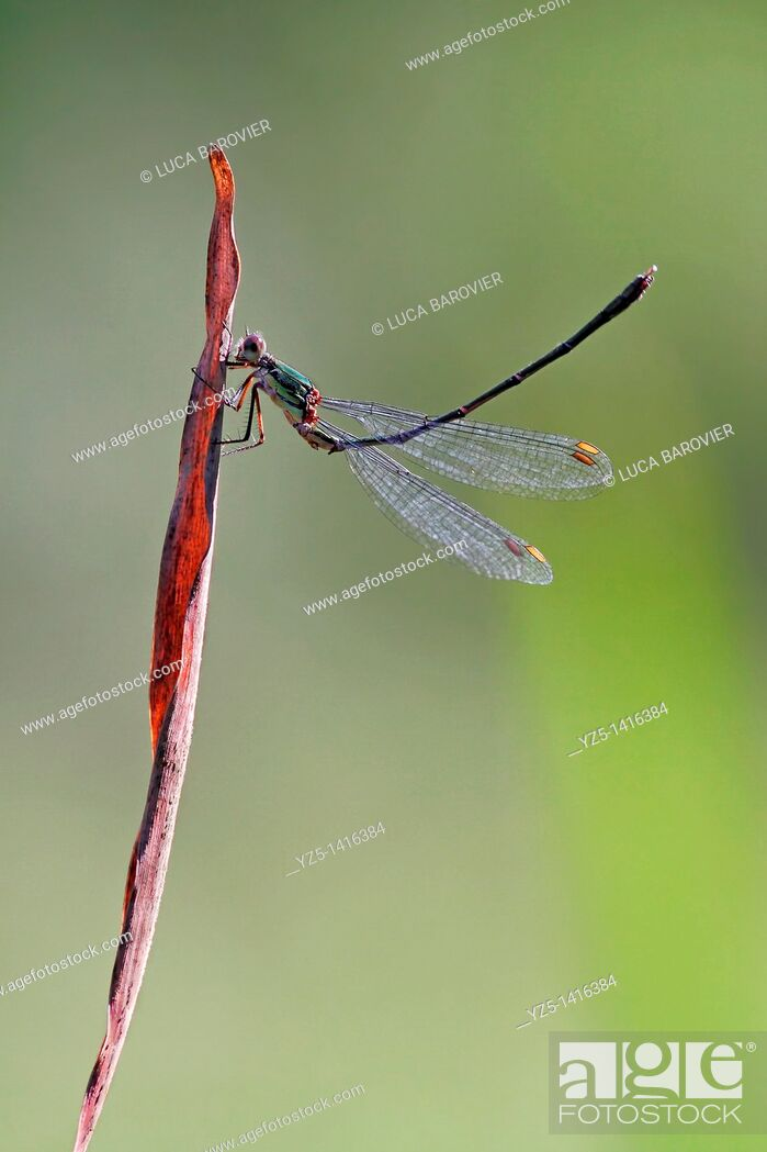 Stock Photo: Ischnura elegans - Blue tailed damselfly - Gymnastics.